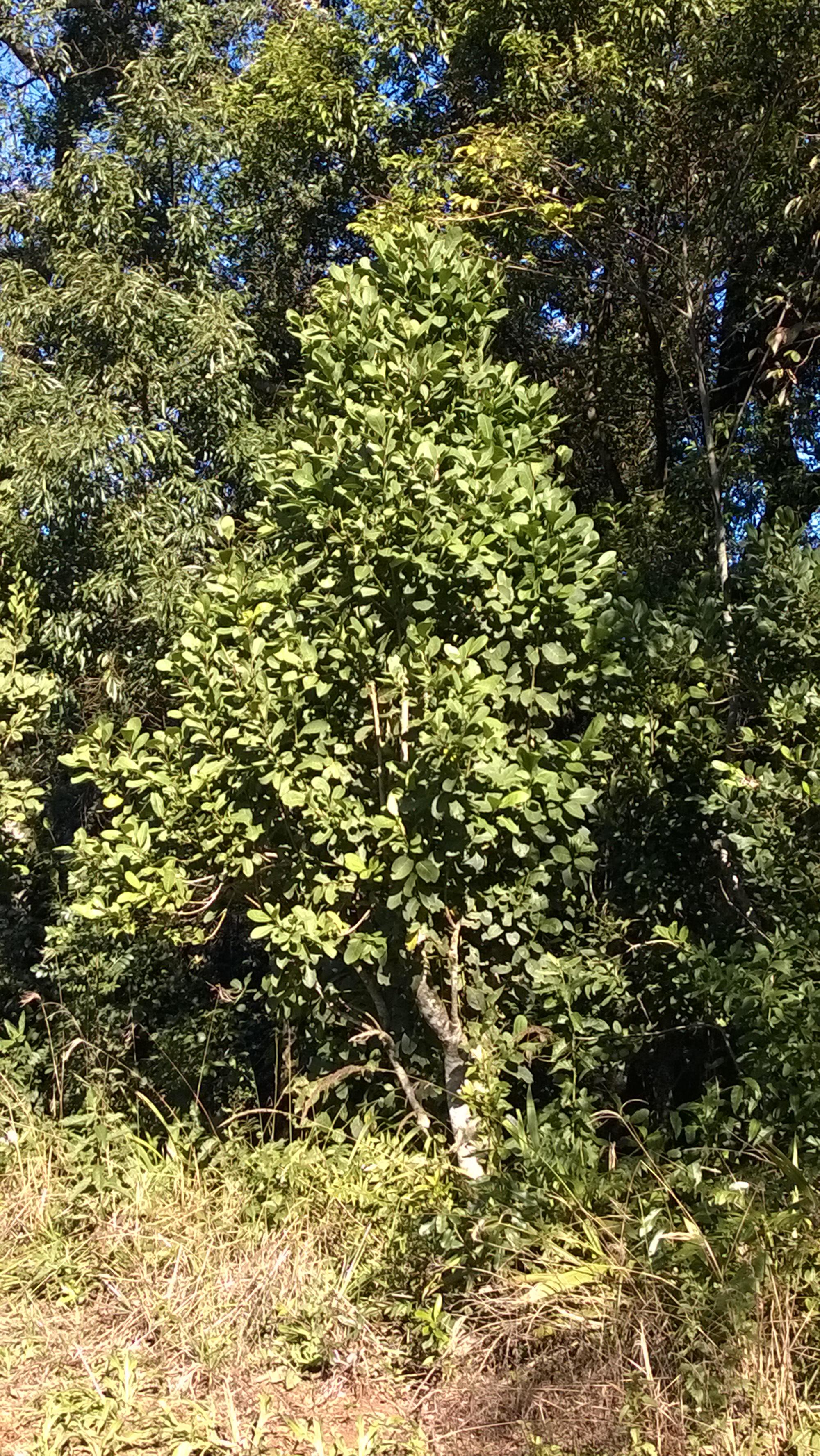 Wild yerba mate plant growing